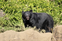 Black bear Stock photo [2262733] Bear