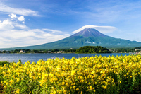Evening primrose and Mount Fuji Stock photo [2263845] Mt.