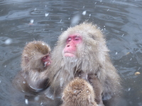 Monkey entering the hot spring Stock photo [2378481] Snow