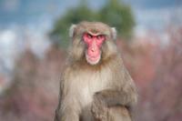 Japanese monkey Curious