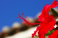 Red hibiscus Stock photo [2387086] Hibiscus