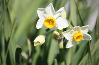 Pure white in the neat narcissus Stock photo [2387196] Narcissus