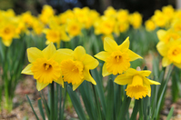 Daffodil Stock photo [2387488] Daffodil