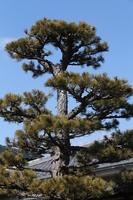 Pine and blue sky Stock photo [2389636] Pine