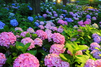 Three Muroto temple hydrangea light up Stock photo [2393281] Three