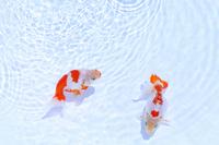 Goldfish Izumo Nanjing Stock photo [2497788] Goldfish