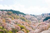 Cherry Yoshino Stock photo [2499300] Cherry