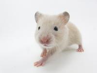 Kinkuma hamster Stock photo [2500310] Hamster
