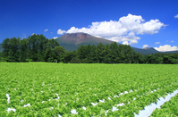Lettuce fields and Mount Asama Stock photo [2501232] Plateau