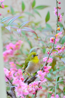 Plum and Japanese white-eye Stock photo [2502047] Red