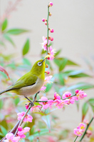 Plum and Japanese white-eye Stock photo [2504986] Red