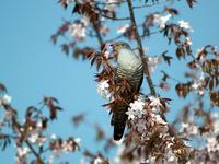 Himalayan cuckoo Stock photo [2511256] Himalayan