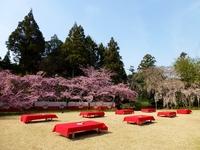 Kyoto cherry blossom viewing Stock photo [2511740] Cherry