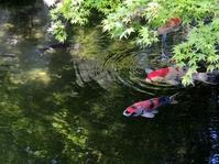 Carp of fresh green and pond Stock photo [2512261] Fresh