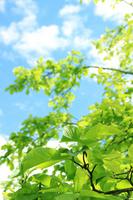 Fresh green and blue sky of magnolia Stock photo [2512918] Fresh