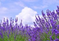 Lavender Stock photo [2627855] Lavender