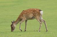 Deer of Nara Park Deer