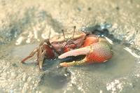 Fiddler crab Stock photo [2721071] Fiddler