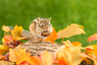 Fall of chipmunk Stock photo [2801097] Autumn