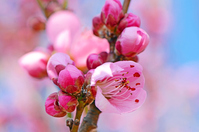 Peach Blossom Stock photo [2801422] Peach