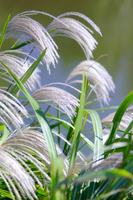 Japanese pampas grass Stock photo [2804077] Wildflower