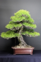 Bonsai black pine Stock photo [2883712] Bonsai