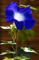 Higo morning glory Stock photo [2884760] Morning