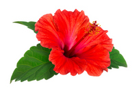 Hibiscus Stock photo [2885010] Hibiscus