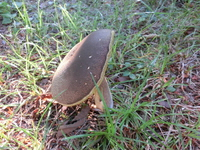 Umbrella of Suillus bovinus Stock photo [2887038] Suillus