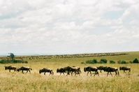 Great migration of wildebeest stock photo