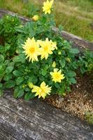 Yellow dahlia Stock photo [2966726] Dahlia