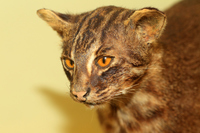 Iriomote wild cat Stock photo [2968343] Iriomote