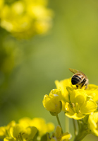 Rape flowers and bees Stock photo [2970467] Rape