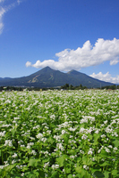 Buckwheat fields and Bandai Stock photo [2973593] Mount