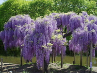 The wisteria flowers Stock photo [90178] Rattan
