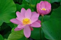 Goro swamp ancient lotus Stock photo [3054223] Lotus