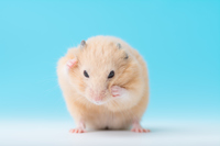 Kinkuma hamster to grooming Stock photo [3054606] Kinkuma