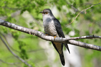 Cuckoo in the green Stock photo [3055907] Bird