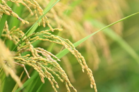 Rice of good harvest Stock photo [3055968] Inaho