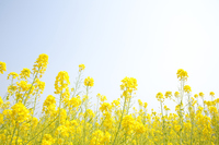 Rape field Stock photo [3057133] Rape