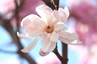 Pink Magnolia stellata Stock photo [3057730] Magnolia