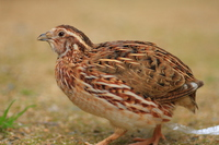 Japanese Quail Stock photo [3058350] Quail
