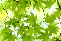 Fresh green maple Stock photo [3059955] Leaf