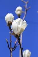 White magnolia flowers and blue sky Stock photo [3062765] Magnolia
