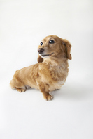 Dachshund sitting - Vertical Stock photo [3135377] Dachshund