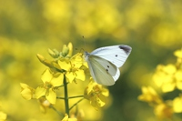 Rape flowers and a cabbage butterfly Stock photo [3138562] Pieris