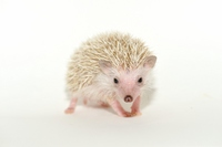 Hedgehog Stock photo [3143520] Small