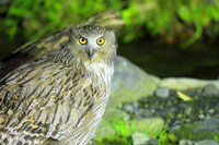Blakiston's fish-owl Stock photo [3146844] Blakiston's