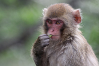 Japanese monkey Stock photo [3244667] APE