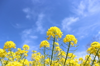 Rape blossoms Stock photo [3246806] Rape